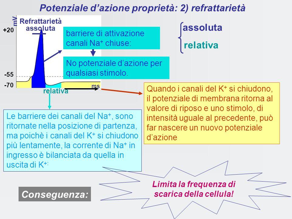 Potenziale dazione: Conduttanze e periodi refrattari conseguenze