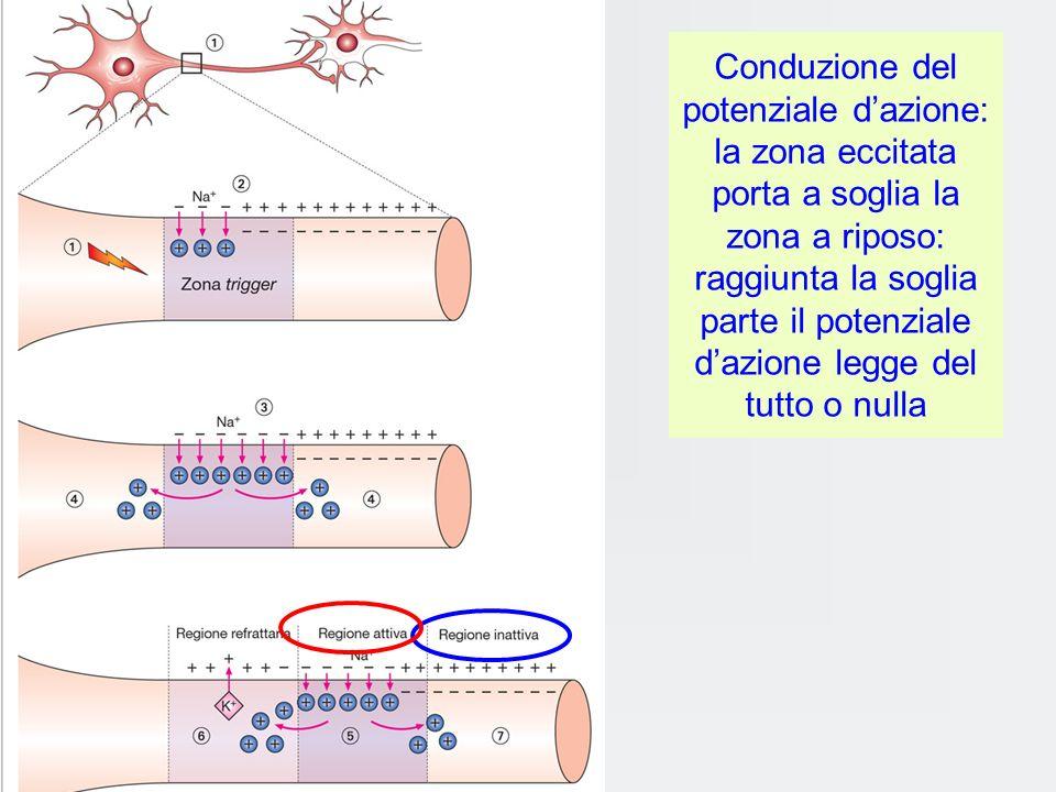 La conduzione del potenziale dazione: si propaga sempre identico a se stesso ossia senza decremento Il p daz, che origina dalla zona trigger del neuro