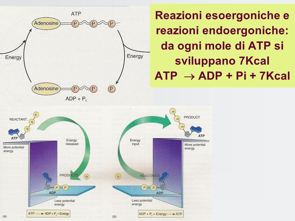 Reazioni esoergoniche e reazioni endoergoniche: da ogni mole di ATP si sviluppano 7Kcal ATP ADP + Pi + 7Kcal