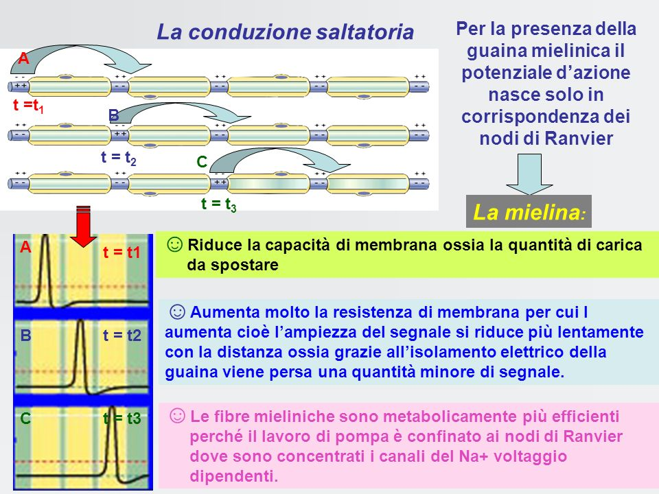 Fibre amieliniche Fibre mieliniche (v fino a 120 m/s) La Mielina riduce la capacità di membrana velocità di conduzione compatibili con i tempi di rifl