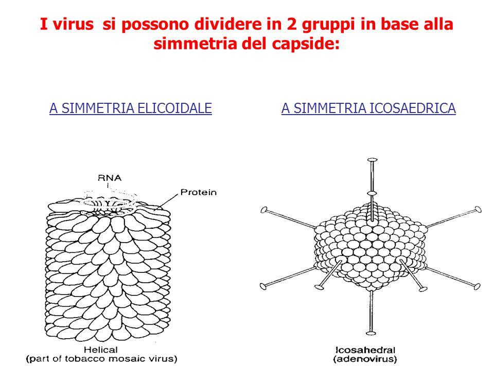 In questo tipo di simmetria, i protomeri si dispongono come se fossero i gradini di una scala a chiocciola, seguendo landamento elicoidale dellacido nucleico che vi è racchiuso, formando una sorta di struttura bastoncellare Simmetria elicoidale