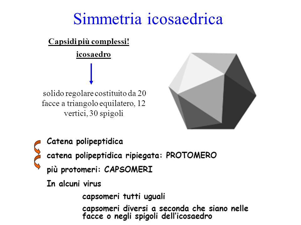 Simmetria icosaedrica Capsidi più complessi! icosaedro solido regolare costituito da 20 facce a triangolo equilatero, 12 vertici, 30 spigoli