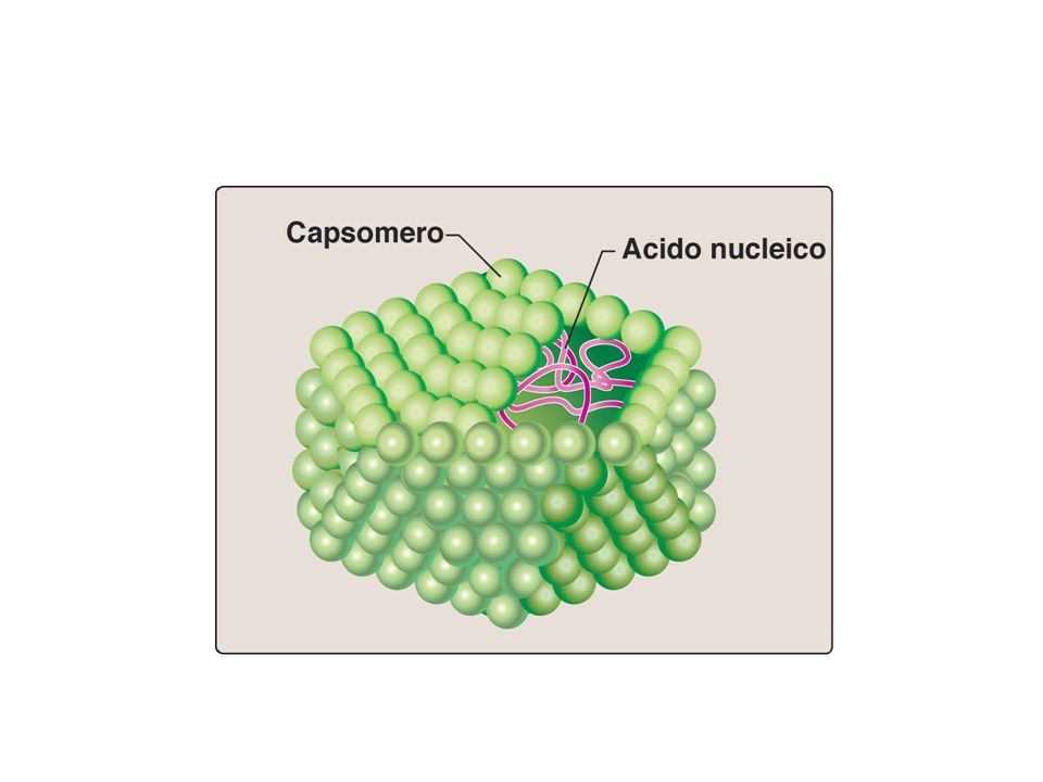 Simmetria icosaedrica: alcuni esempi… poliovirus Herpes virus parvovirus adenovirus
