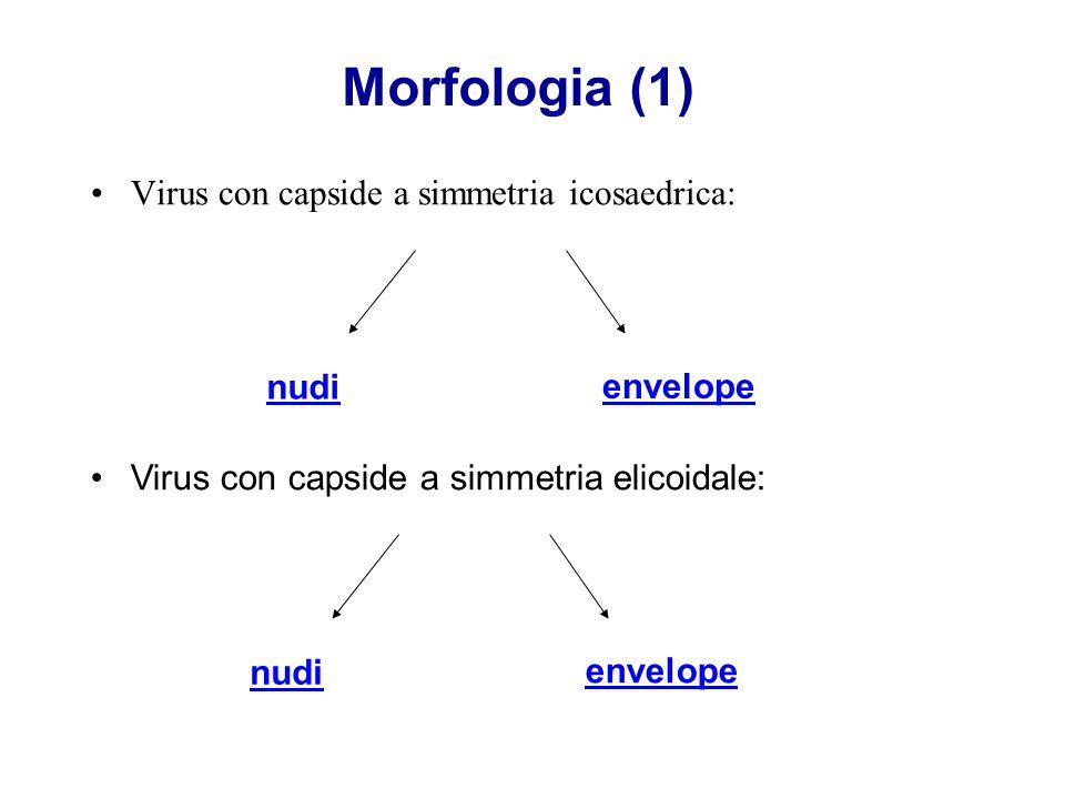 Simmetria icosaedrica, nudo Morfologia (2)