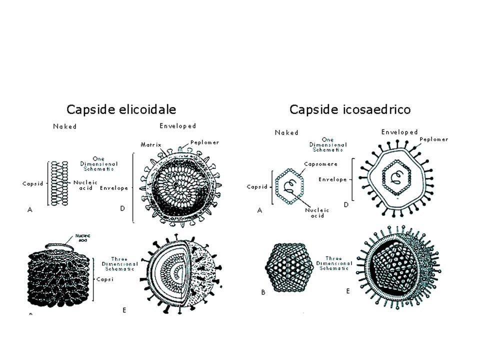 Spikes Proteine protundenti dallenvelope, sono di origine virale Riconoscono i recettori sulle cellule ospiti