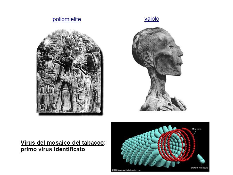 Virus del mosaico del tabacco: primo virus identificato poliomielite vaiolo
