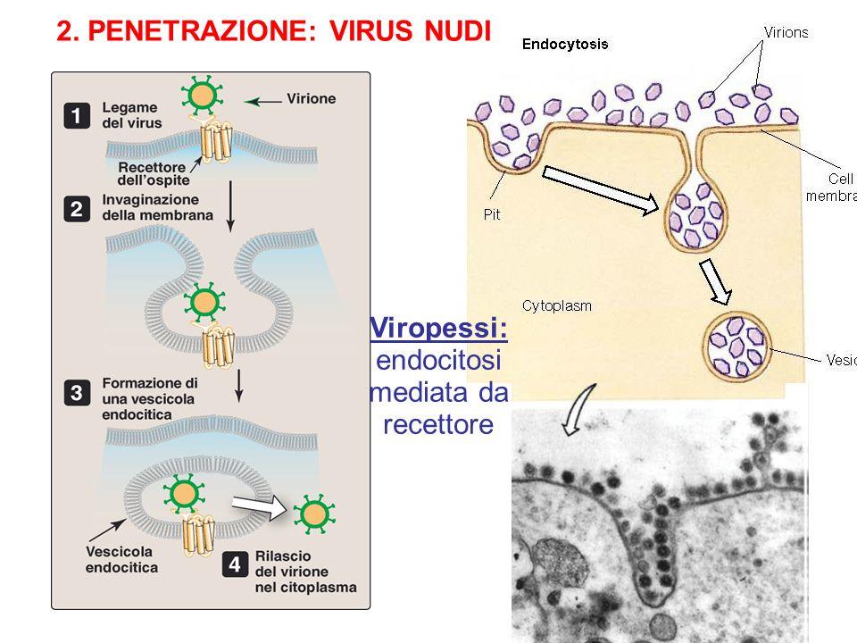 2. PENETRAZIONE: VIRUS CON ENVELOPE Fusione envelope virale con membrana plasmatica cellulare