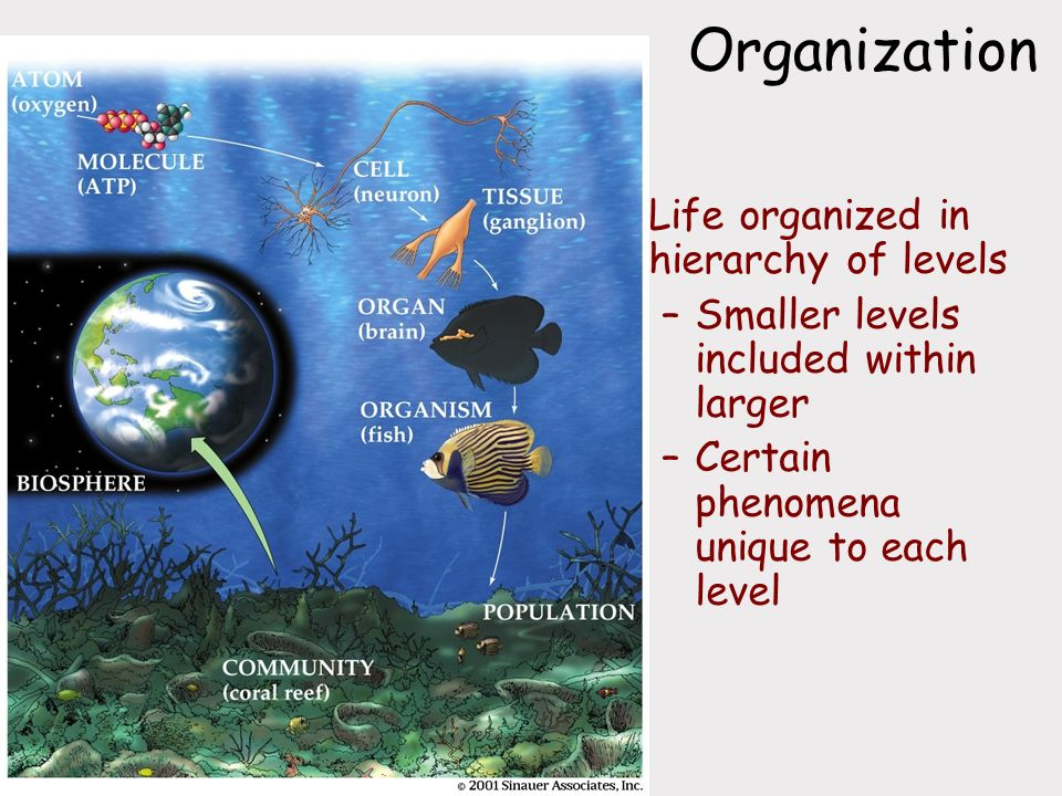 Organization Life organized in hierarchy of levels –Smaller levels included within larger –Certain phenomena unique to each level