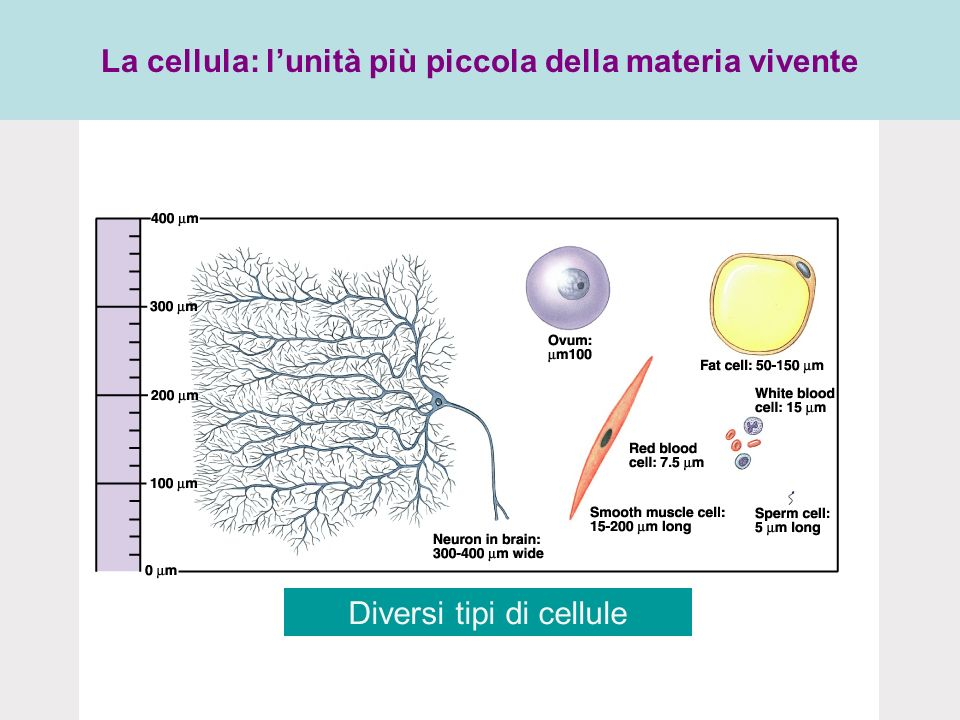 La cellula: lunità più piccola della materia vivente Diversi tipi di cellule