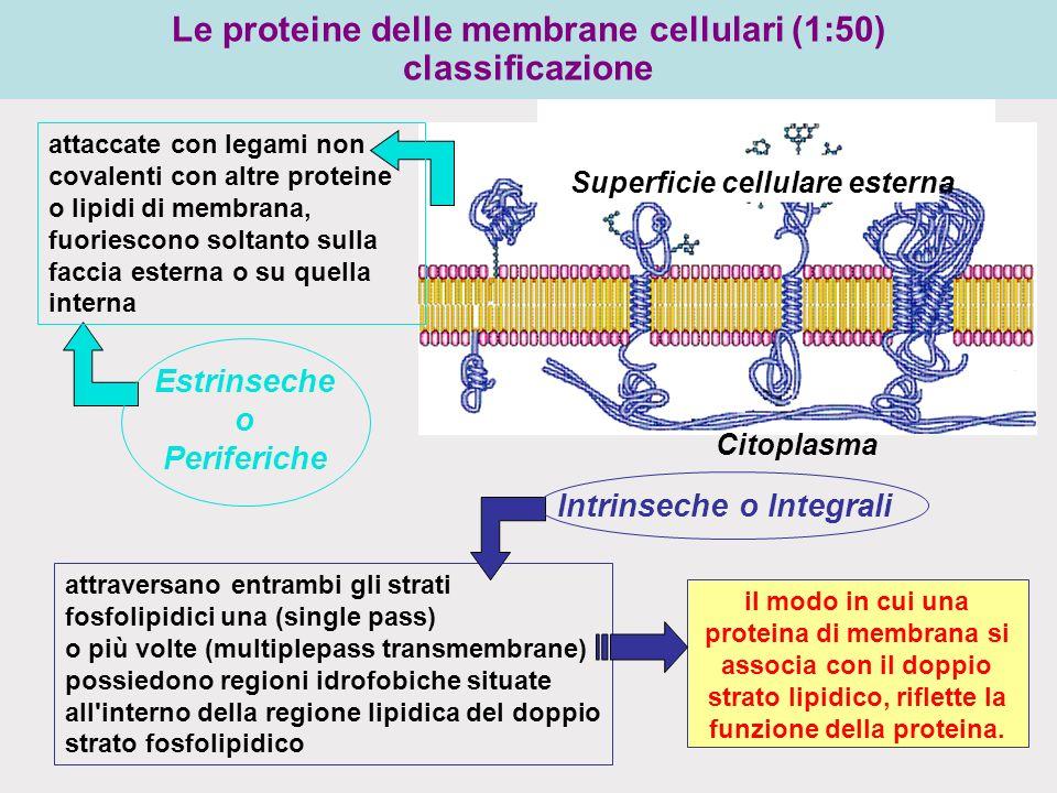 Citoplasma Superficie cellulare esterna il modo in cui una proteina di membrana si associa con il doppio strato lipidico, riflette la funzione della proteina.