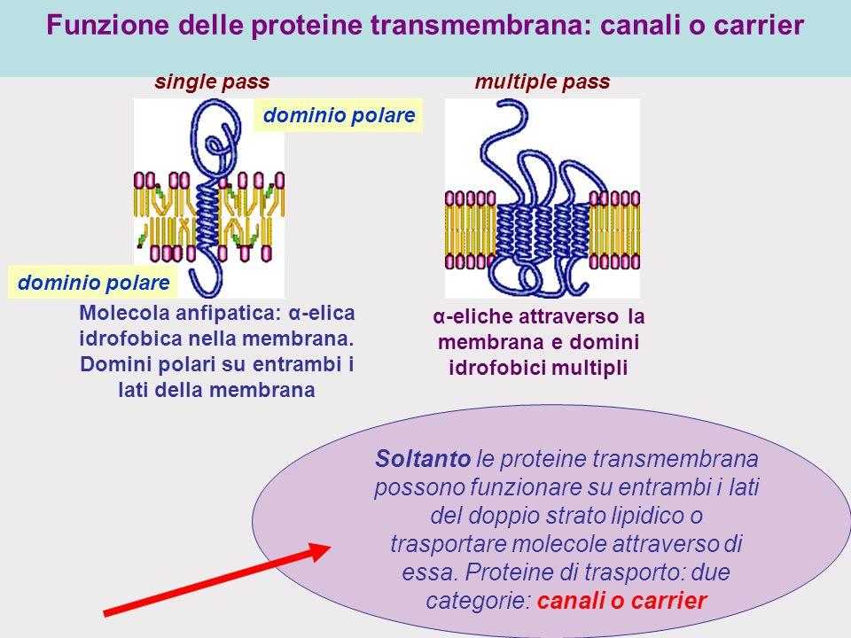 Funzione delle proteine transmembrana: canali o carrier Soltanto le proteine transmembrana possono funzionare su entrambi i lati del doppio strato lipidico o trasportare molecole attraverso di essa.