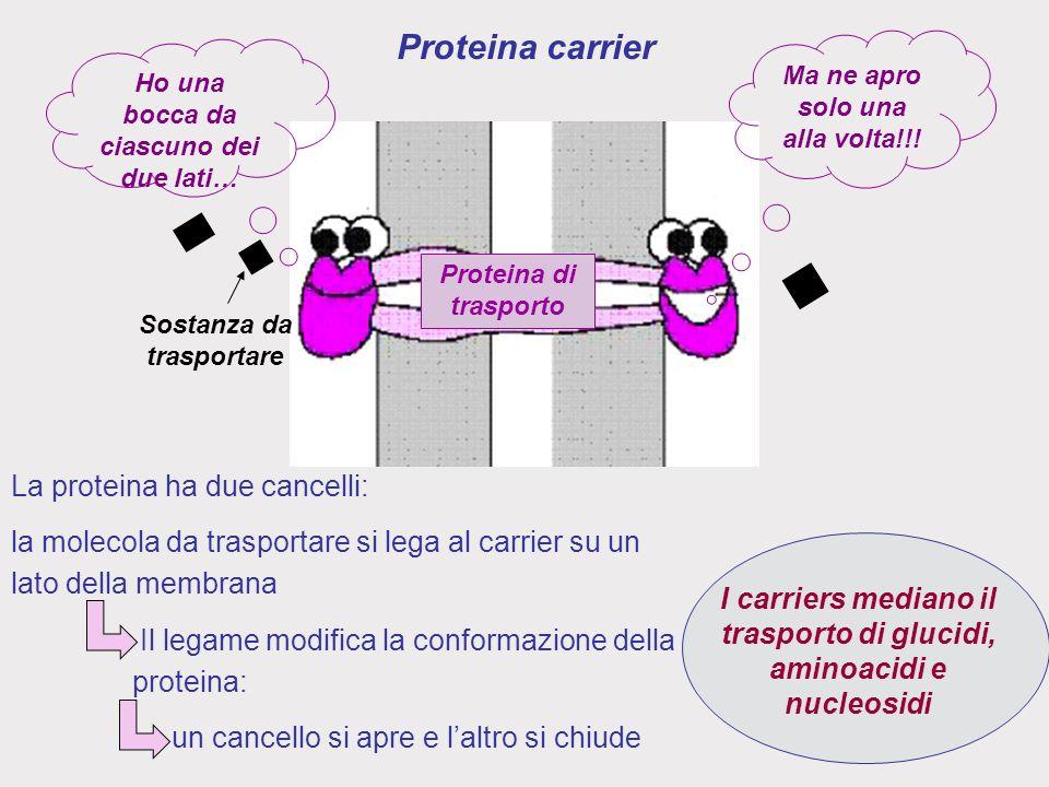 Proteina di trasporto Sostanza da trasportare Ma ne apro solo una alla volta!!.