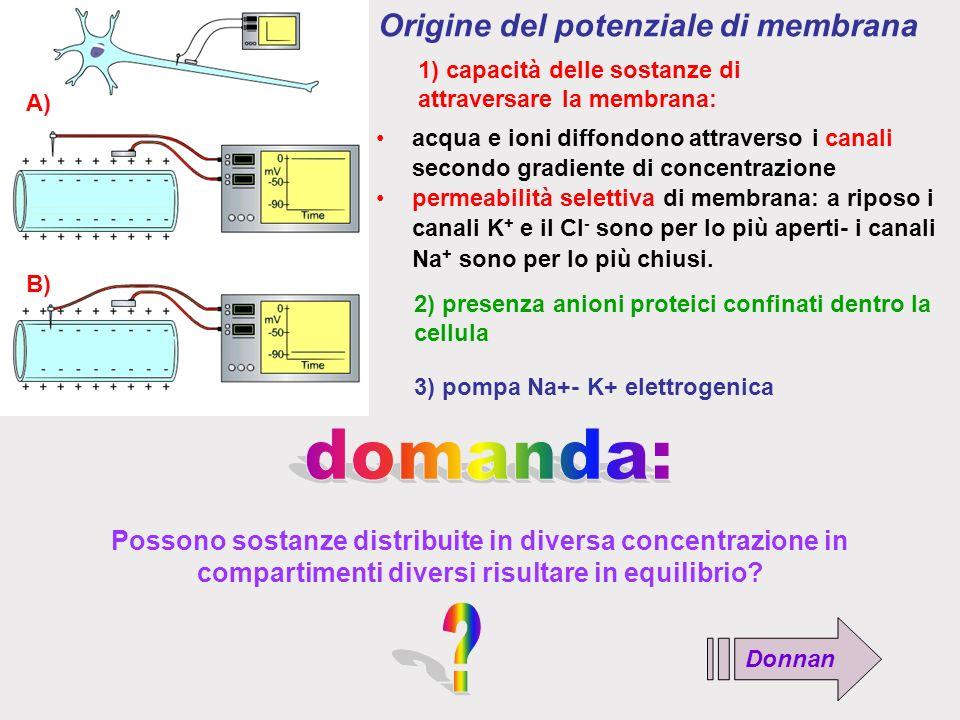 B) A) Origine del potenziale di membrana 1) capacità delle sostanze di attraversare la membrana: acqua e ioni diffondono attraverso i canali secondo gradiente di concentrazione permeabilità selettiva di membrana: a riposo i canali K + e il Cl - sono per lo più aperti- i canali Na + sono per lo più chiusi.