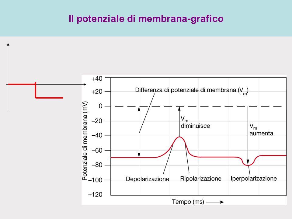 Il potenziale di membrana-grafico