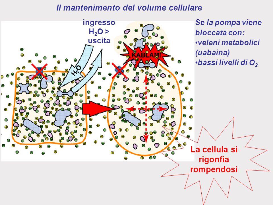 Il mantenimento del volume cellulare ingresso H 2 O > uscita Se la pompa viene bloccata con: veleni metabolici (uabaina) bassi livelli di O 2 La cellula si rigonfia rompendosi