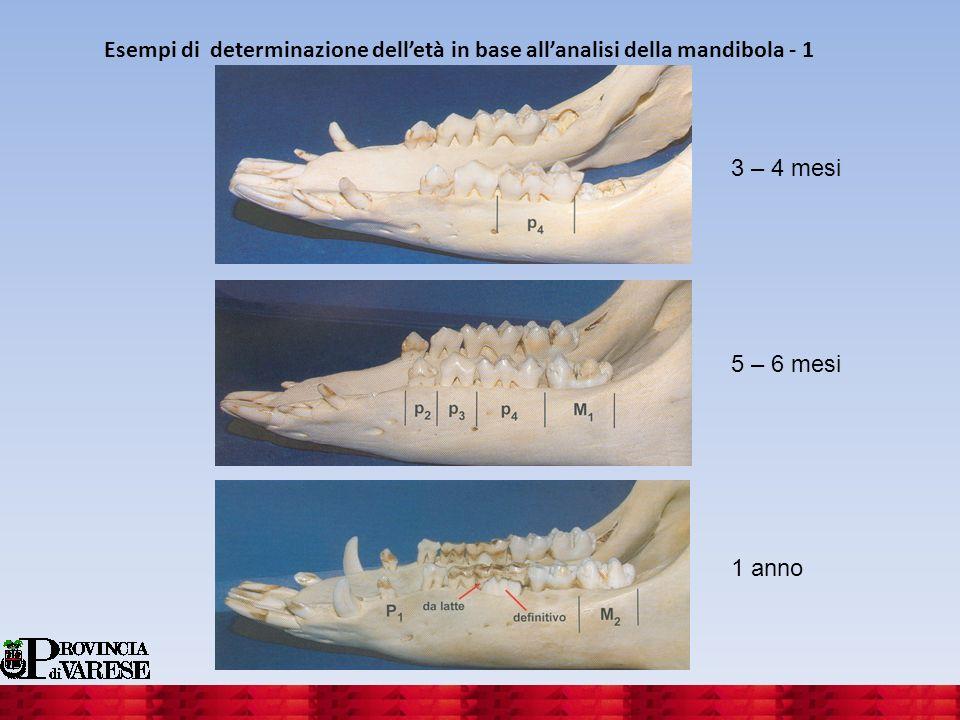 Esempi di determinazione delletà in base allanalisi della mandibola - 1 3 – 4 mesi 5 – 6 mesi 1 anno