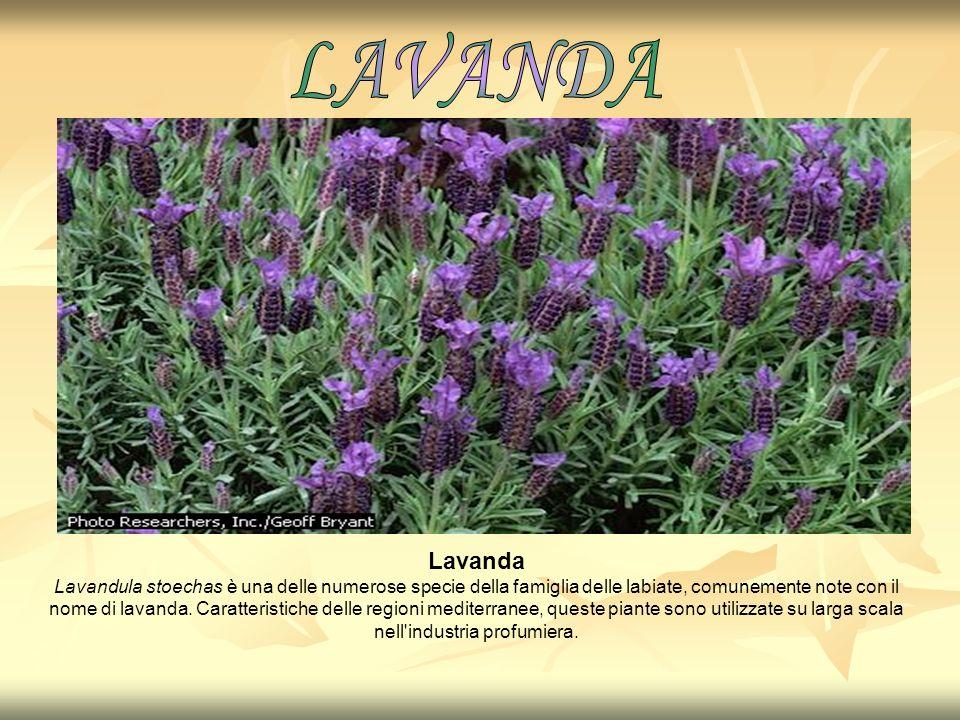 Lavanda Lavandula stoechas è una delle numerose specie della famiglia delle labiate, comunemente note con il nome di lavanda. Caratteristiche delle re