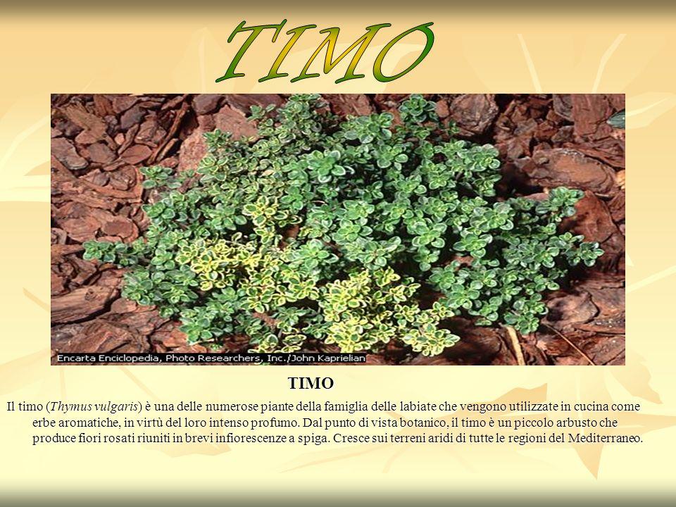 TIMO TIMO Il timo (Thymus vulgaris) è una delle numerose piante della famiglia delle labiate che vengono utilizzate in cucina come erbe aromatiche, in