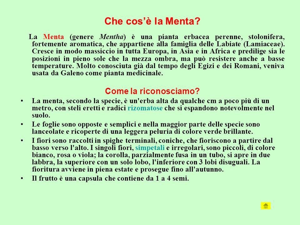 La Menta (genere Mentha) è una pianta erbacea perenne, stolonifera, fortemente aromatica, che appartiene alla famiglia delle Labiate (Lamiaceae). Cres