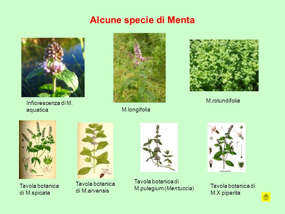 Alcune specie di Menta Infiorescenza di M. aquatica M.longifolia M.rotundifolia Tavola botanica di M.spicata Tavola botanica di M.arvensis Tavola bota