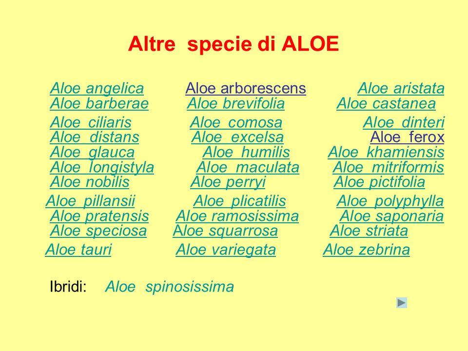 Altre specie di ALOE Aloe angelica Aloe arborescens Aloe aristata Aloe barberae Aloe brevifolia Aloe castaneaAloe angelicaAloe aristata Aloe barberaeA