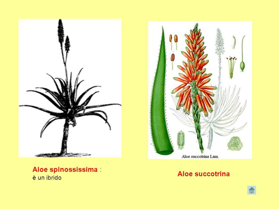 Aloe spinossissima : è un ibrido Aloe succotrina