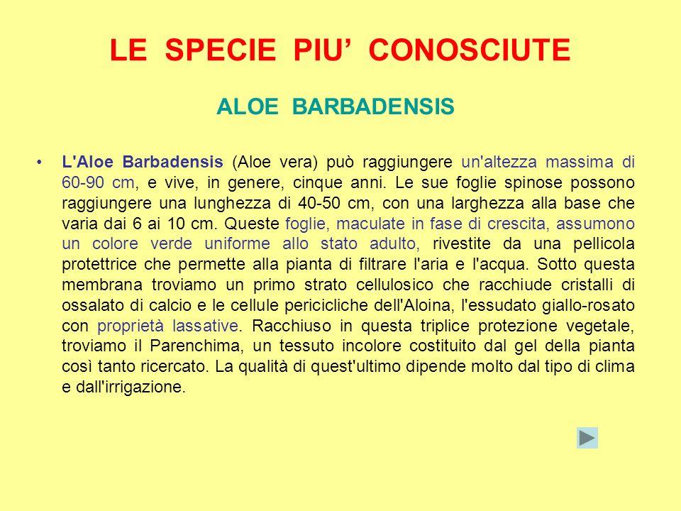 LE SPECIE PIU CONOSCIUTE ALOE BARBADENSIS L'Aloe Barbadensis (Aloe vera) può raggiungere un'altezza massima di 60-90 cm, e vive, in genere, cinque ann