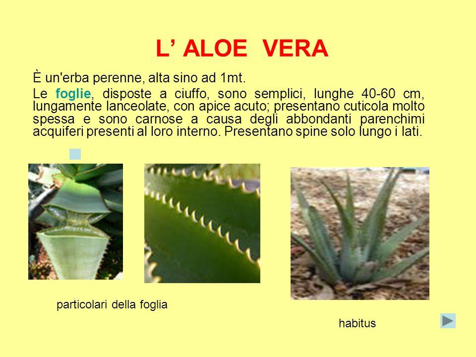 L ALOE VERA È un'erba perenne, alta sino ad 1mt. Le foglie, disposte a ciuffo, sono semplici, lunghe 40-60 cm, lungamente lanceolate, con apice acuto;