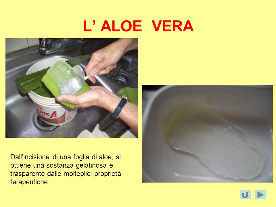 L ALOE VERA Dallincisione di una foglia di aloe, si ottiene una sostanza gelatinosa e trasparente dalle molteplici proprietà terapeutiche