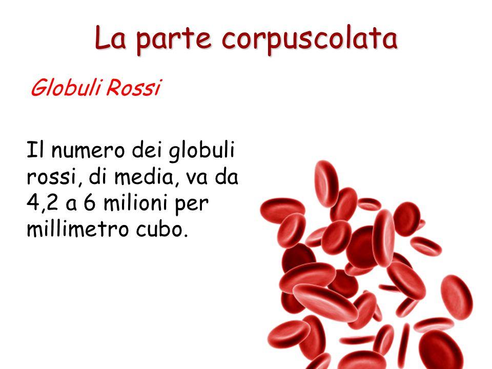 La forma dei globuli rossi, o eritrociti, ricorda quella che si ottiene schiacciando una pallina di plastilina tra pollice e indice. La forma biconcav