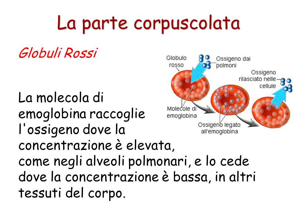 Una delle caratteristiche più appariscenti dei globuli rossi è il colore rosso, dovuto alla emoglobina, una grossa molecola proteica contenente ferro,