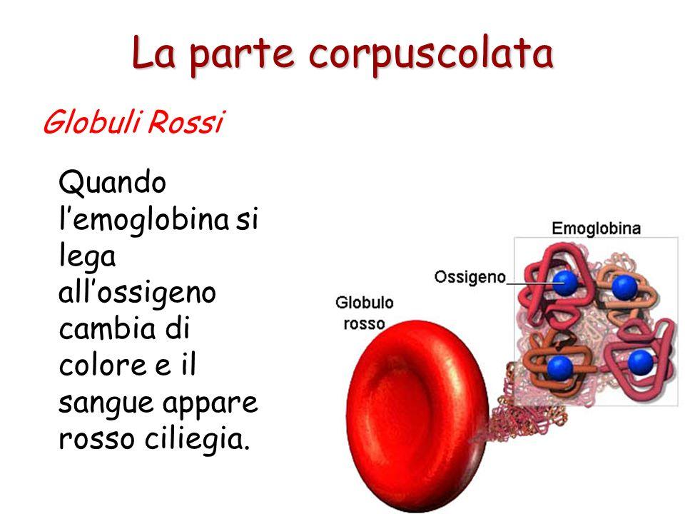 Ceduto l'ossigeno, una parte dell'emoglobina si combina con lanidride carbonica prodotta dal metabolismo cellulare e ritorna ai polmoni. Globuli Rossi