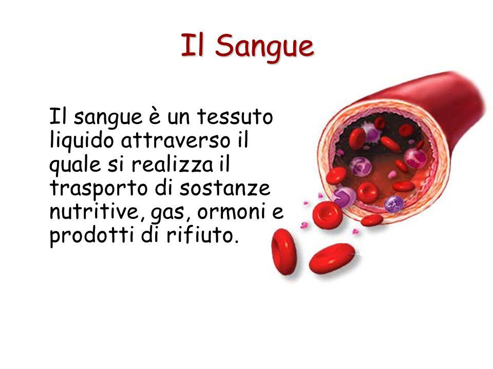 Il sangue è un tessuto liquido attraverso il quale si realizza il trasporto di sostanze nutritive, gas, ormoni e prodotti di rifiuto.