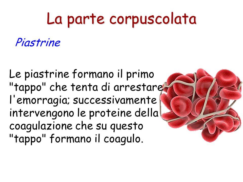 Circolano nel sangue ed intervengono in occasione di rotture dei vasi sanguigni. La parte corpuscolata Piastrine