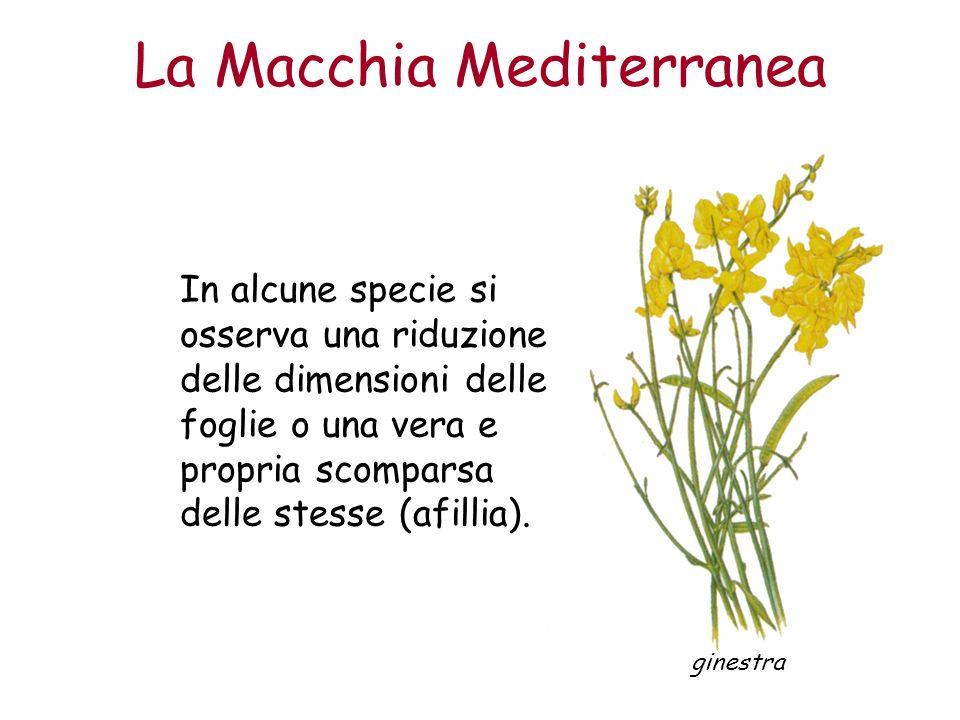 La Macchia Mediterranea In alcune specie si osserva una riduzione delle dimensioni delle foglie o una vera e propria scomparsa delle stesse (afillia).