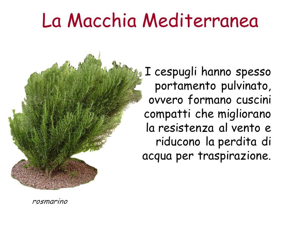 La Macchia Mediterranea I cespugli hanno spesso portamento pulvinato, ovvero formano cuscini compatti che migliorano la resistenza al vento e riducono