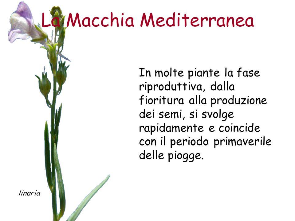 La Macchia Mediterranea In molte piante la fase riproduttiva, dalla fioritura alla produzione dei semi, si svolge rapidamente e coincide con il period