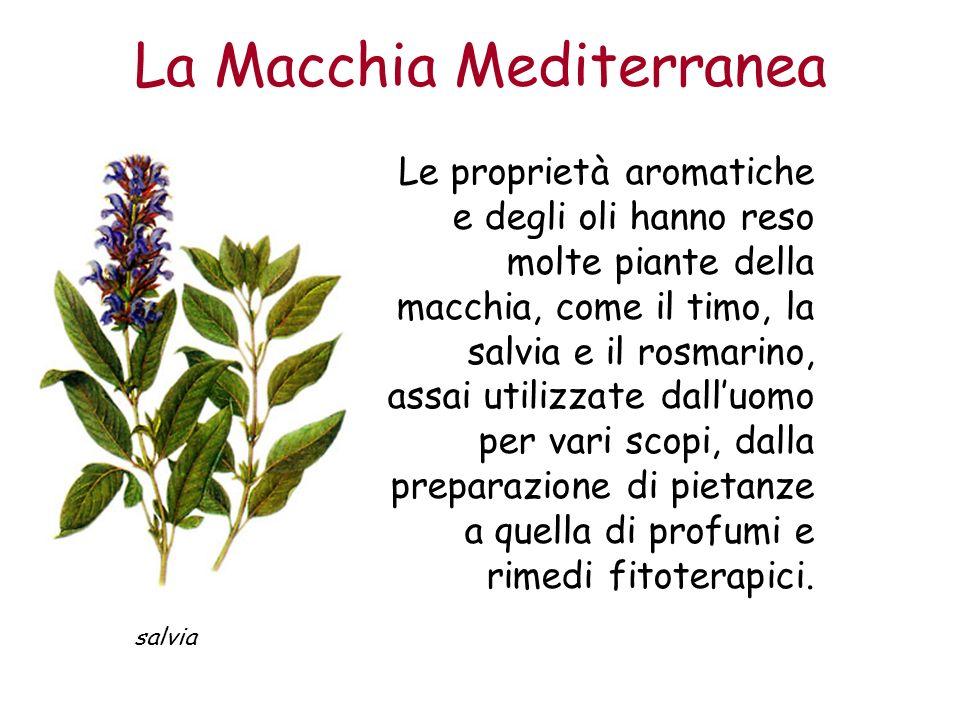 La Macchia Mediterranea Le proprietà aromatiche e degli oli hanno reso molte piante della macchia, come il timo, la salvia e il rosmarino, assai utili