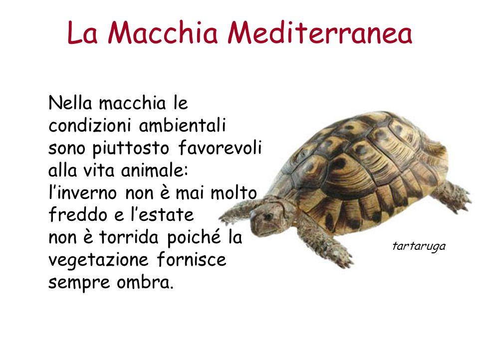 La Macchia Mediterranea Nella macchia le condizioni ambientali sono piuttosto favorevoli alla vita animale: linverno non è mai molto freddo e lestate