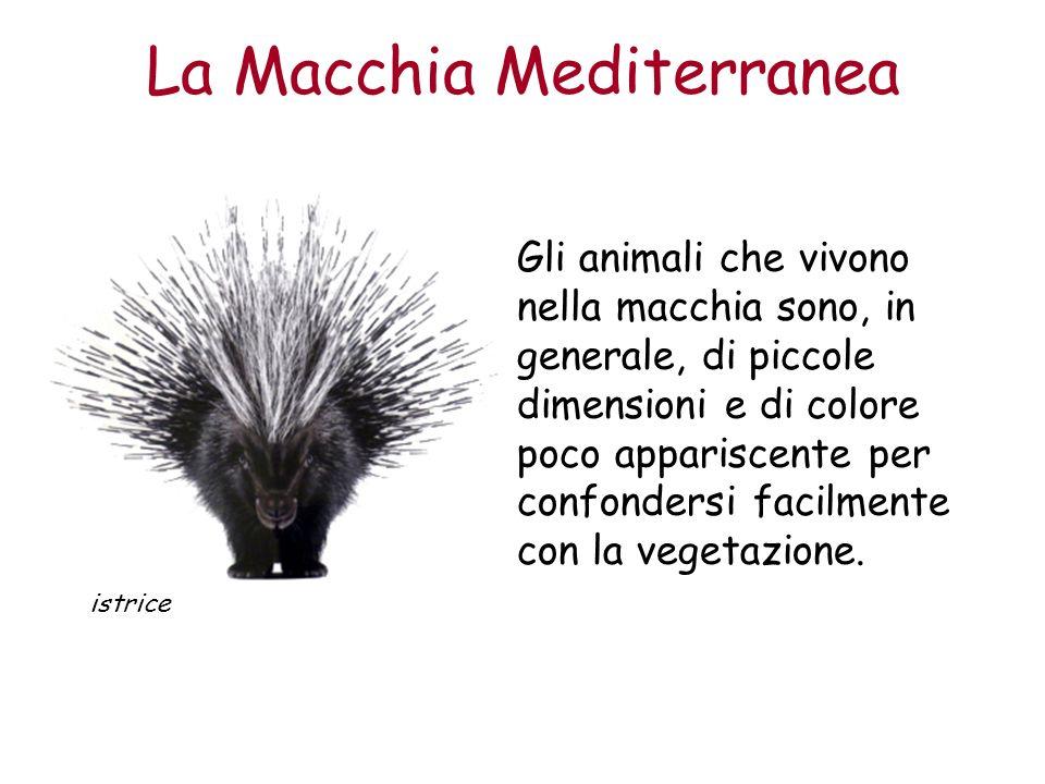 La Macchia Mediterranea Gli animali che vivono nella macchia sono, in generale, di piccole dimensioni e di colore poco appariscente per confondersi fa