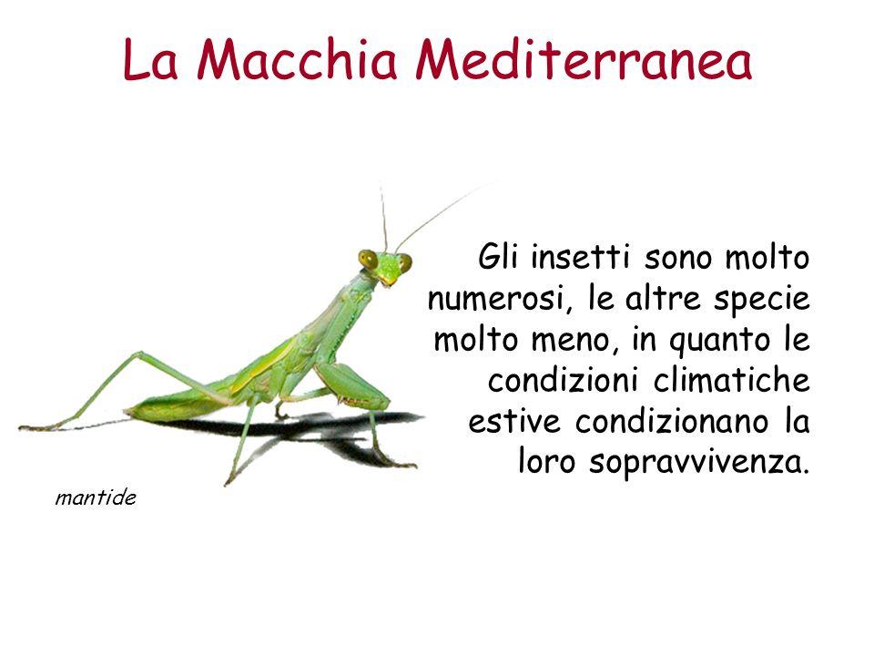 La Macchia Mediterranea mantide Gli insetti sono molto numerosi, le altre specie molto meno, in quanto le condizioni climatiche estive condizionano la