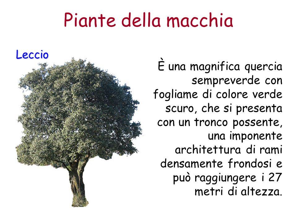 Piante della macchia Leccio È una magnifica quercia sempreverde con fogliame di colore verde scuro, che si presenta con un tronco possente, una impone