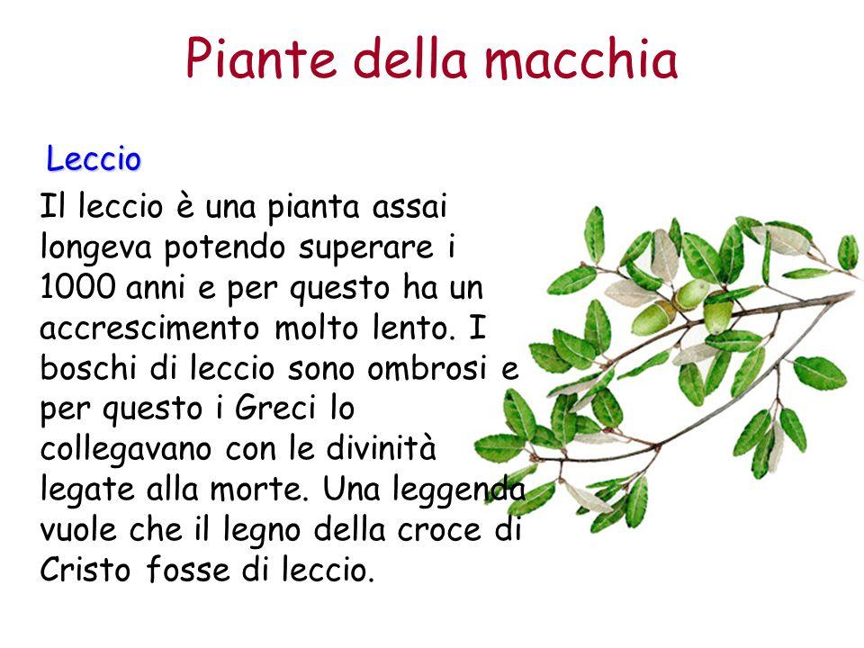 Piante della macchia Leccio Il leccio è una pianta assai longeva potendo superare i 1000 anni e per questo ha un accrescimento molto lento. I boschi d