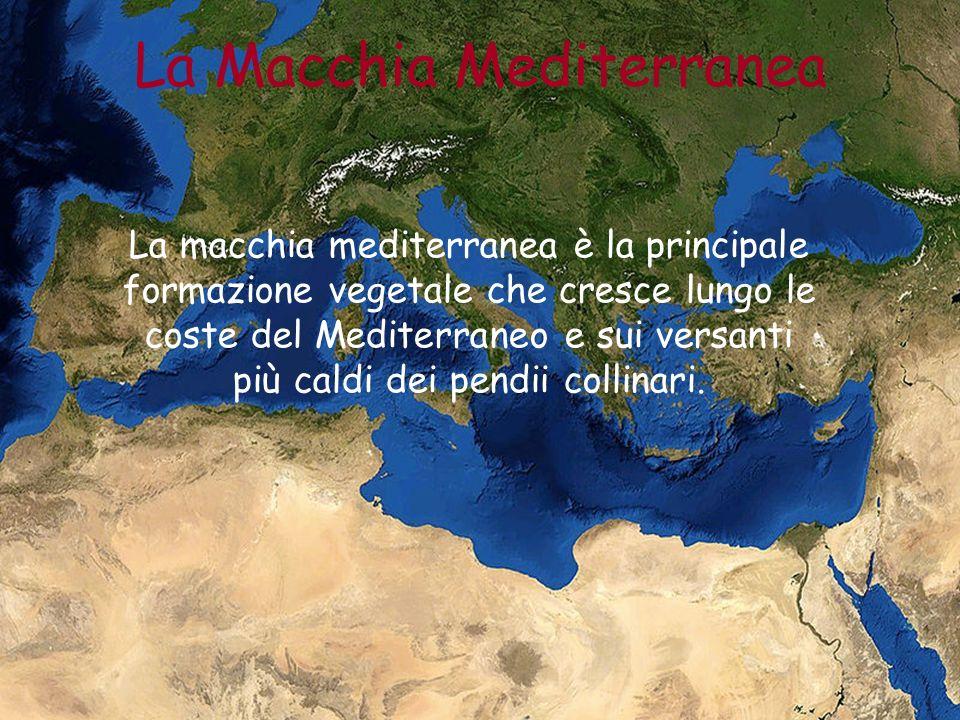La macchia mediterranea è la principale formazione vegetale che cresce lungo le coste del Mediterraneo e sui versanti più caldi dei pendii collinari.