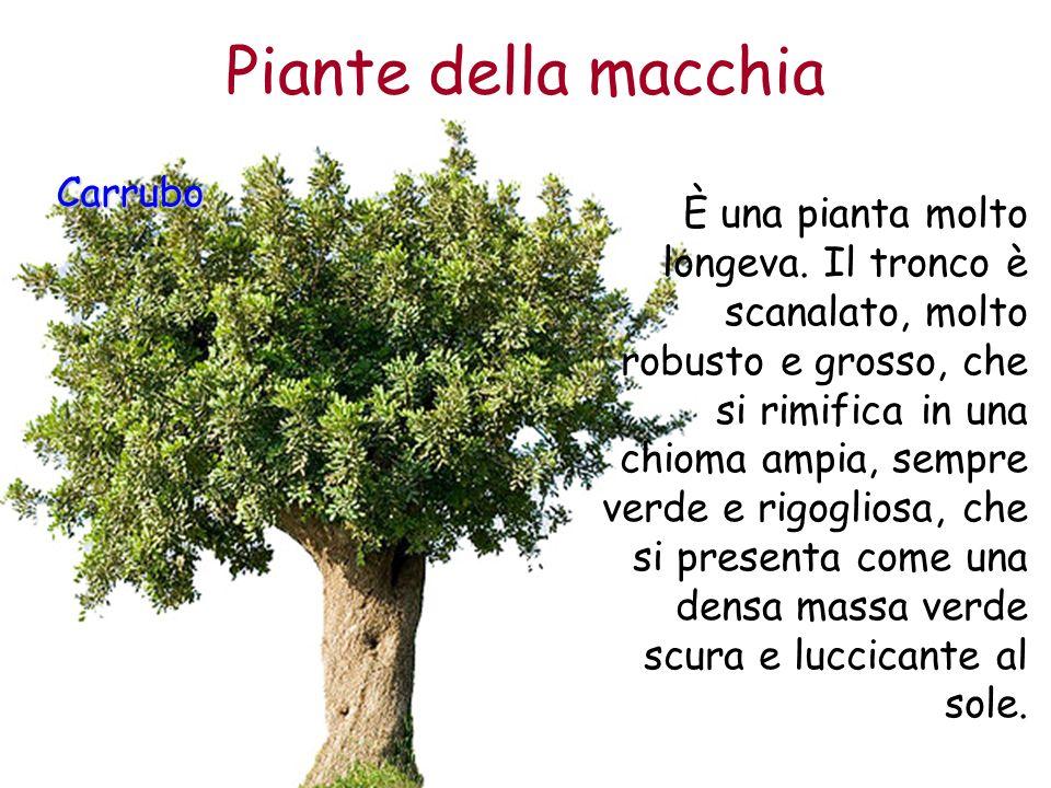 Piante della macchia Carrubo È una pianta molto longeva. Il tronco è scanalato, molto robusto e grosso, che si rimifica in una chioma ampia, sempre ve
