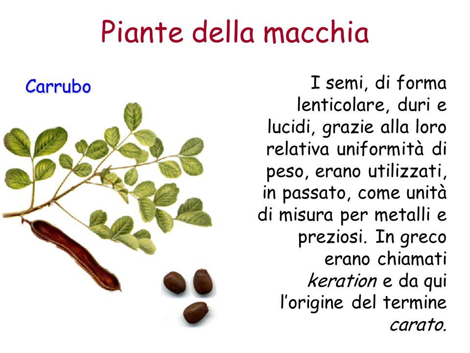 Piante della macchia Carrubo I semi, di forma lenticolare, duri e lucidi, grazie alla loro relativa uniformità di peso, erano utilizzati, in passato,