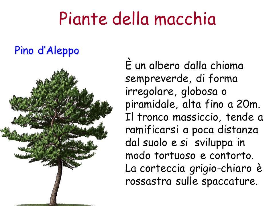 Pino dAleppo È un albero dalla chioma sempreverde, di forma irregolare, globosa o piramidale, alta fino a 20m. Il tronco massiccio, tende a ramificars