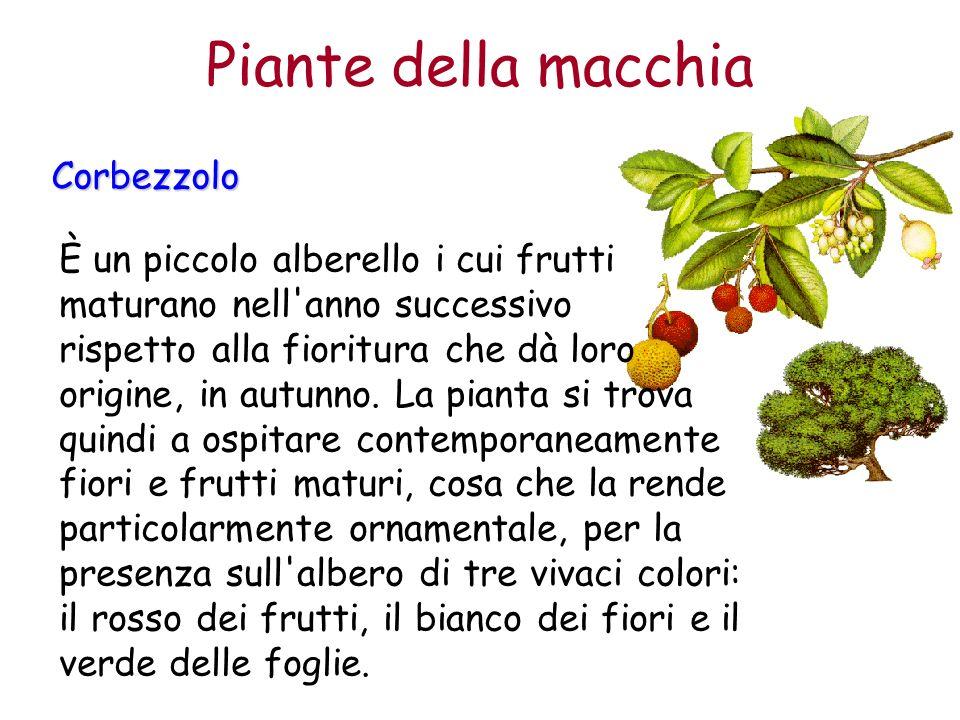 Corbezzolo È un piccolo alberello i cui frutti maturano nell'anno successivo rispetto alla fioritura che dà loro origine, in autunno. La pianta si tro
