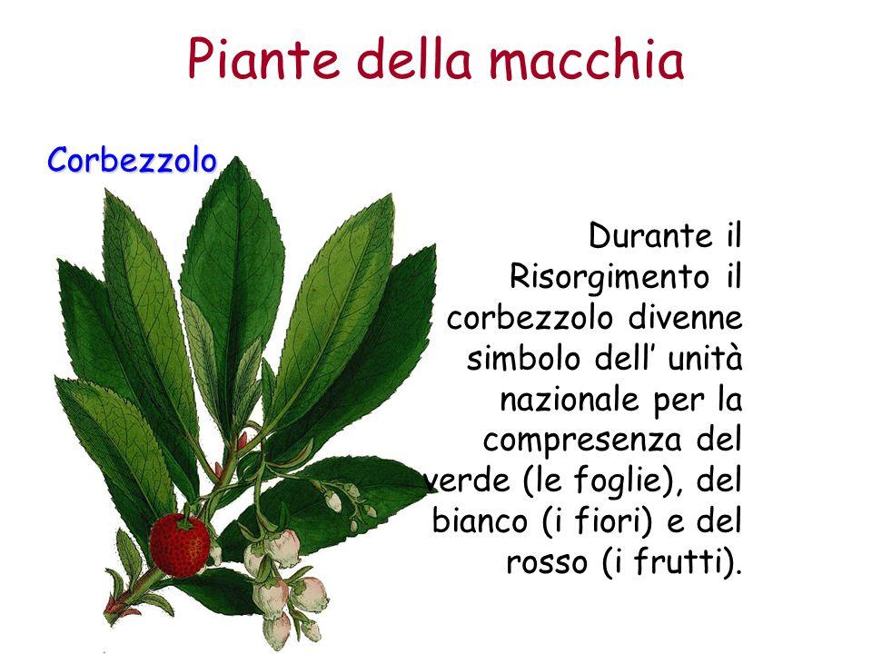 Piante della macchia Corbezzolo Durante il Risorgimento il corbezzolo divenne simbolo dell unità nazionale per la compresenza del verde (le foglie), d