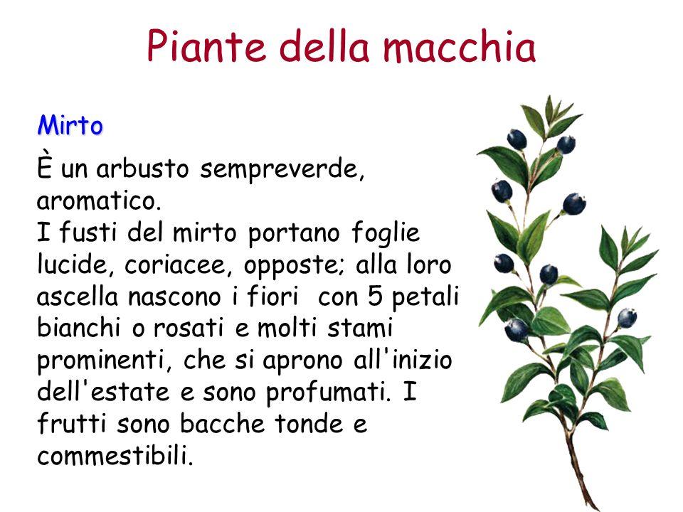 Mirto È un arbusto sempreverde, aromatico. I fusti del mirto portano foglie lucide, coriacee, opposte; alla loro ascella nascono i fiori con 5 petali